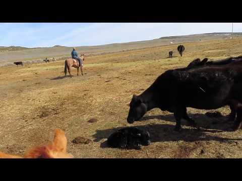 Aprendiendo a dirigir la manada de vacasA pesar los cambios tecnológicos, hay un montón…