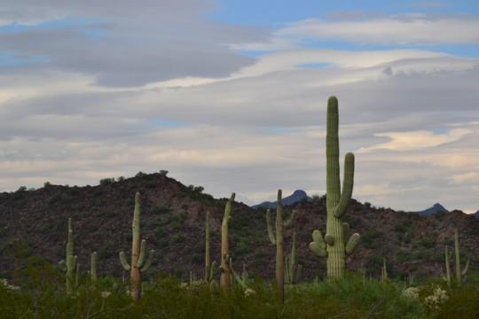 El muro de Trump y los saguaros